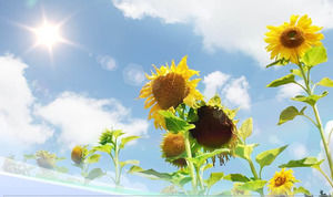 Sunflower nature ppt template under blue sky sunlight
